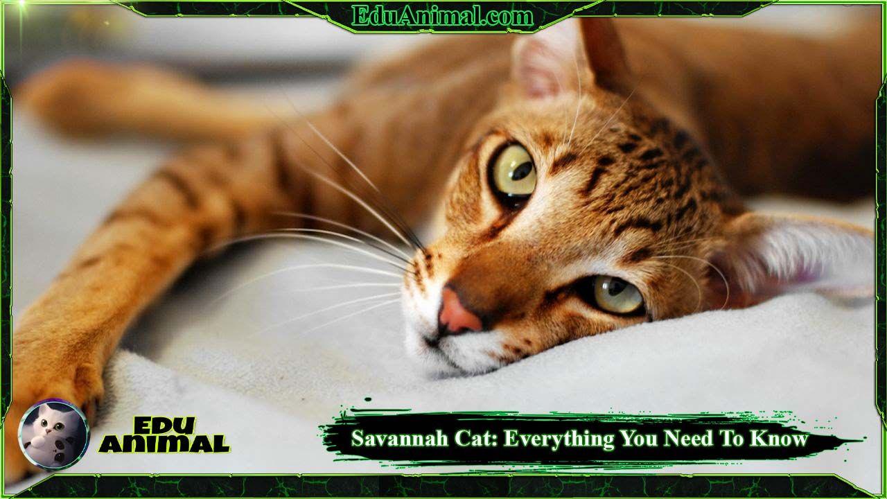 Savannah Cat: Everything You Need To Know | EduAnimal