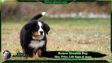 Photo of Bernese Mountain Dog: Size, Price, LifeSpan & More