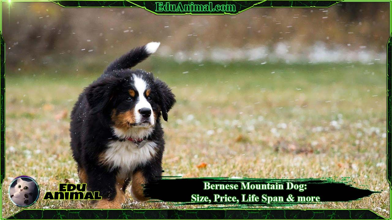 Bernese Mountain Dog: Size, Price, LifeSpan & More | EduAnimal