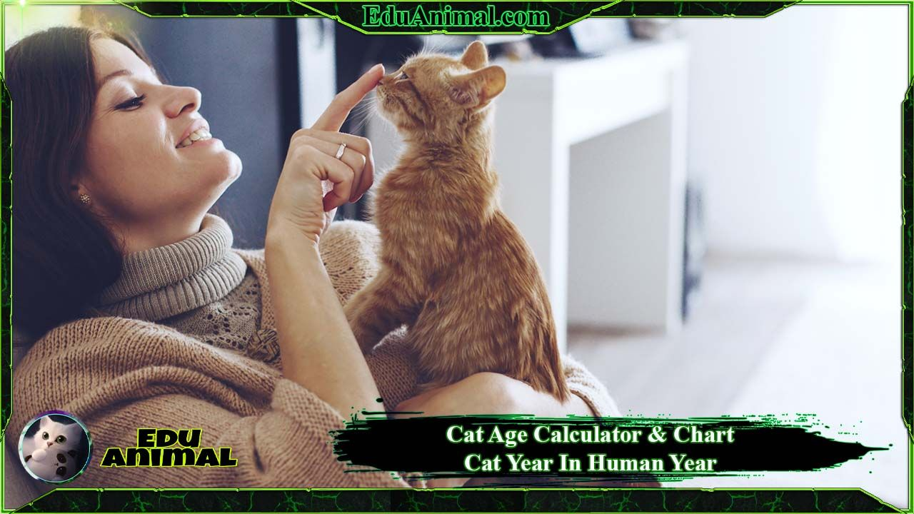 Cat Age Calculator & Chart: Cat Year In Human Year | EduAnimal
